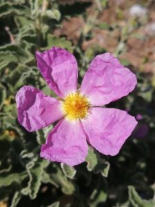 Red cistus (cistus incanus)
